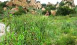 The Boeing Company Santa Susana Field Laboratory – Native Plant Restoration Field Oversight, Ventura County, California